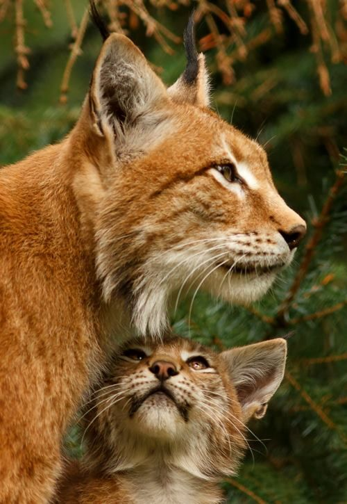 Lynx Mother with Cub ♥ The cub looks up so adoringly...