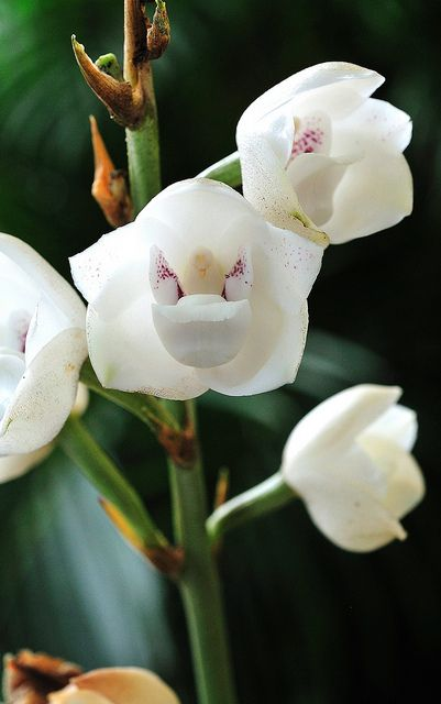 """Panama's national flower, the """"Flower of the Holy Spirit"""" a.k.a. the Holy Ghost orchid"""