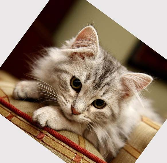 Pictures of Siberian Kittens | Siberian cat rescue: