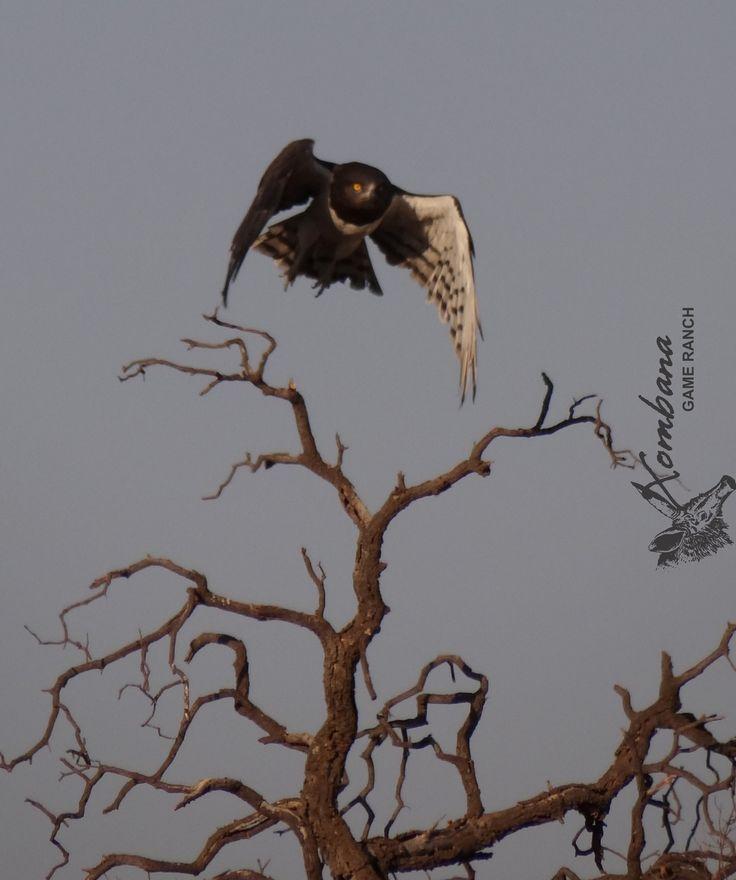 Black-chested Snake Eagle @ Xombana, Dinokeng