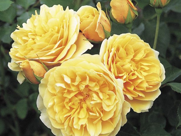 Voted the  World's Favorite Rose  by an international society of over 100,000 rose lovers,  'Graham Thomas'  has a tea rose perfume with the scent of violets.