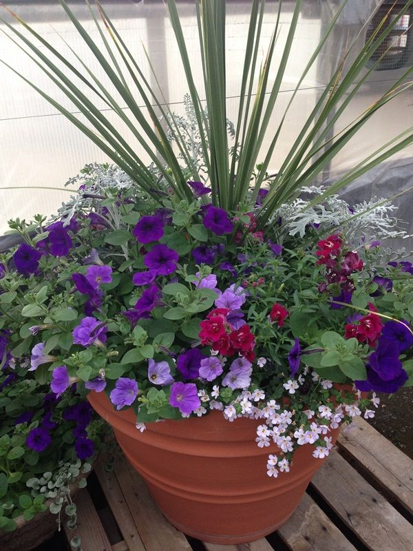 Power Flowers Container Garden with Dusty Miller, Petunia, Snapdragon and Bacopa