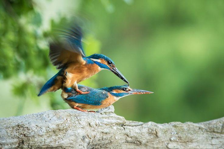 kingfisher - null
