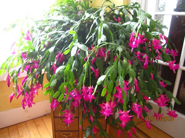 25 Best Images About Christmas Cactus On Pinterest