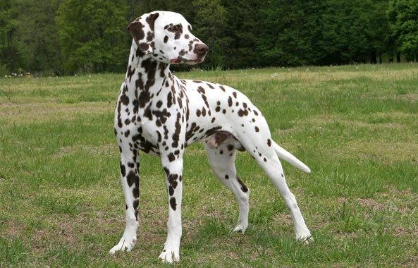 DALMATIAN/ダルメシアン ダルメシアン, ドッグショー, 女の子と犬