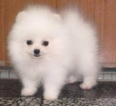 Pomeranian :) love!!!