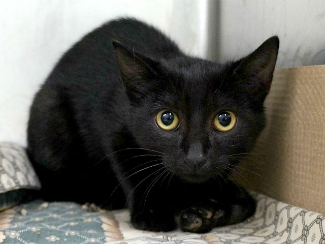LANCELOT - A1123381 - - Manhattan  ***TO BE DESTROYED 08/30/17***LANCELOT is a 4 month old gentle kitten who has an abscess on her left front leg.  She is unable to walk on it.  Needs further medical and a home. Was brought in with sibling. NEEDS FOSTER BY NOON TOMORROW….ALL MEDICAL COVERED BY RESCUE WHEN YOU FOSTER. -  Click for info & Current Status: http://nyccats.urgentpodr.org/lancelot-a1123381/