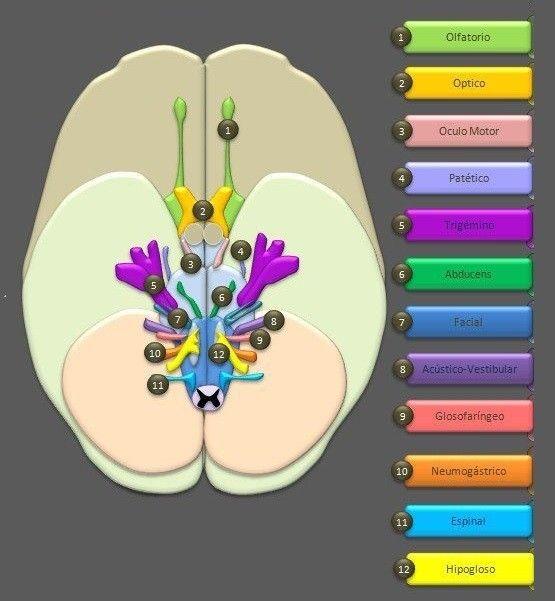 Pares craneales: los 12 nervios que salen del cerebro