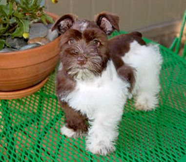 Teacup Schnauzer Puppies | River City Schnauzers - Toy and Teacup Schnauzers in Texas