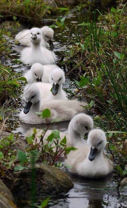 Baby Swans | Just Cute! | Pinterest