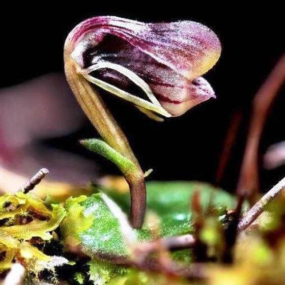 New Zealand's tiny, threatened swamp helmet orchid can only be found in one peat bog within the Whangamarino Wetlands. Photo: George Novak / NZ Geographic
