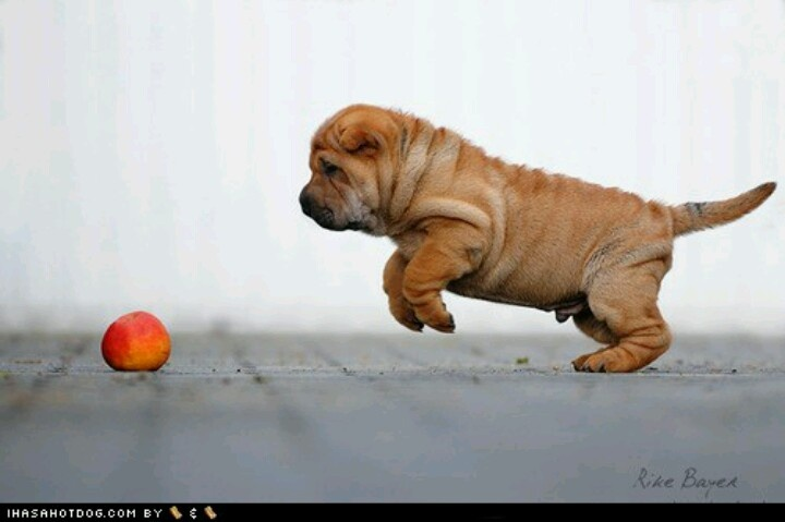 I get it!: Puppies Dogs, Puppies Ob, The Doctors, Pointer, Apples Pounc Posters,  Hungarian Pointers, Perfect Posture, Ob Teh, Cyoot Puppies