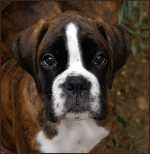 Boxer puppies are the cutest!