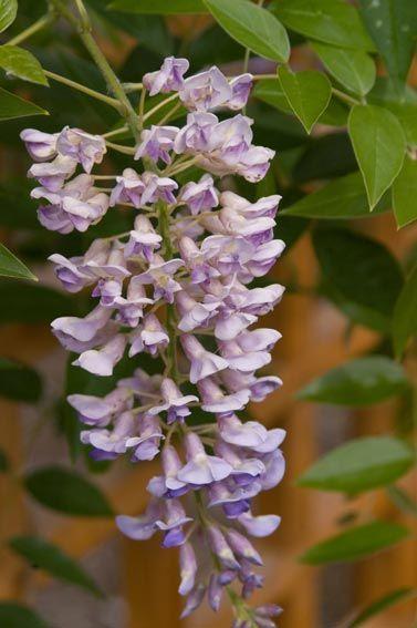 WISTERIA MACR. SUMMER CASCADE -La floraison débute en juin sur la nouvelle pousse. Les fleurs, qui sont portées individuellement sur de longs épis, émergent avec une jolie couleur lavande foncé; puis des gousses décoratives apparaissent en automne. Cette glycine orne joliment les tonnelles et les pergolas. Variété plus rustique que la plupart des autres glycines. Z-4