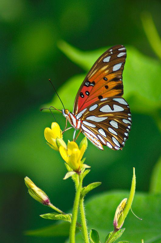 Butterfies by Eric T Kreft**