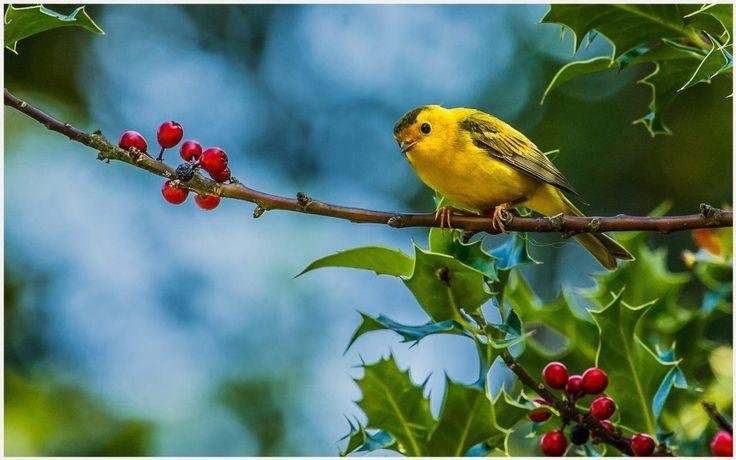 Yellow Bird HD Wallpaper | yellow bird hd wallpaper