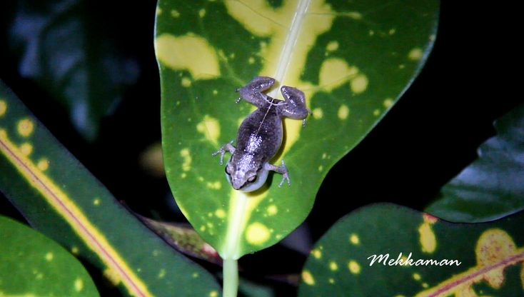 Barbados whistling frogs serenade you through the night