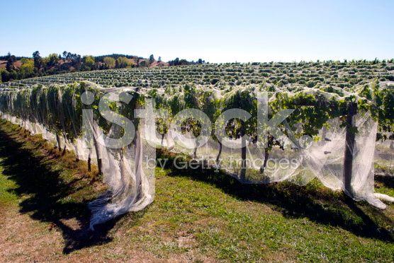 Rural Vineyard Scene, Moutere, New Zealand royalty-free stock photo