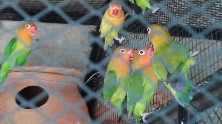 Lovebirds ki breeding se related tips