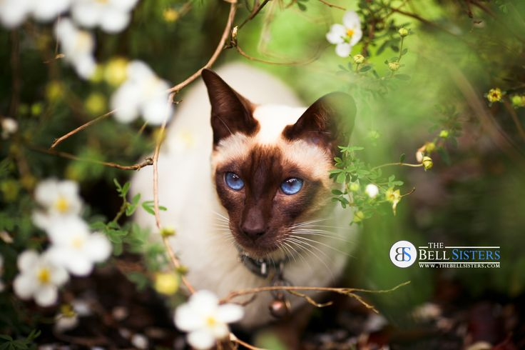 Siamese Cat in Flower Bed. Available as Wall Art (Canvas, Poster, Mounted Print, Acrylic, Aluminium and Gloss Print: