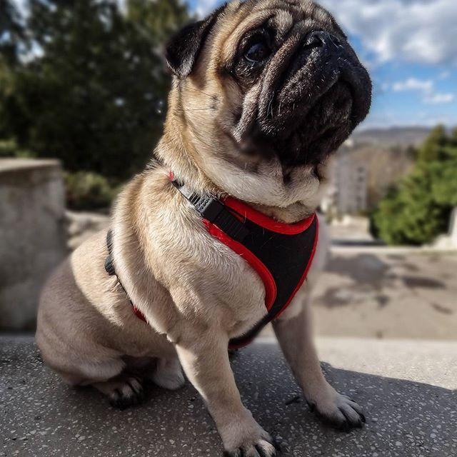 Me trying really hard to look relaxed when I bump into my ex in the park   #mauricethepug #relaxed #cool #park #walkinthepark #spring #sunshine #sunnyday #myex #exgirl #heartbroken #fabulous #pug #mops #dog #puppy