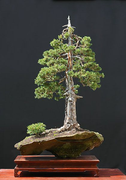 25 best ideas about bonsai baum on pinterest lila b ume ornamentbaum and kleine bunte. Black Bedroom Furniture Sets. Home Design Ideas