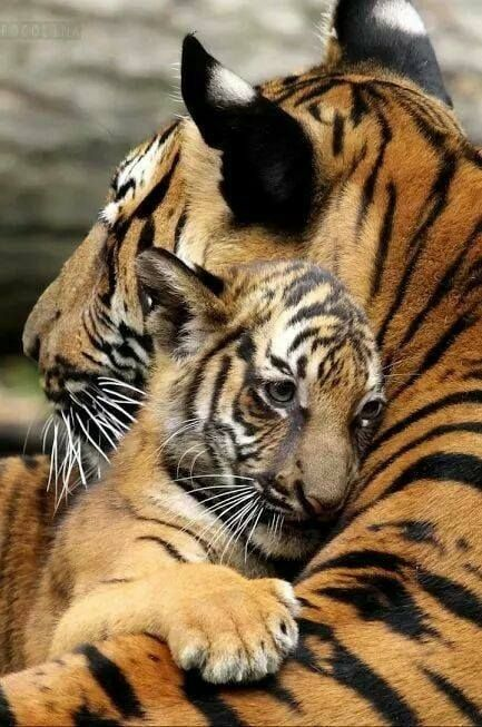 ...even baby tigers have bad days!!! : (