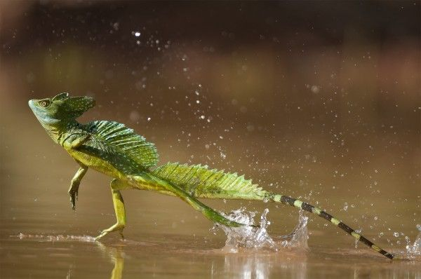 A photo of a Basilisk lizard running across the surface of water.