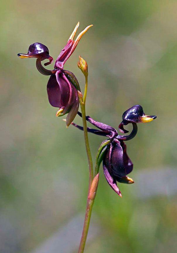 17 Flores Extraordinárias Que Parecem Ser Outra Coisa Orquídea Pato Voador (Caleana major)