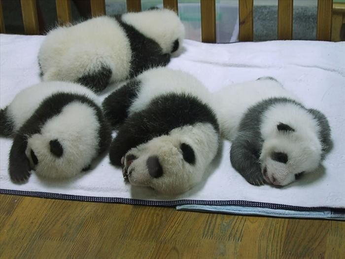 Baby panda weight about 100-200 grams (3.5 to 7 ounces) at birth and are about 15-17 cm (6-7 inch) long.
