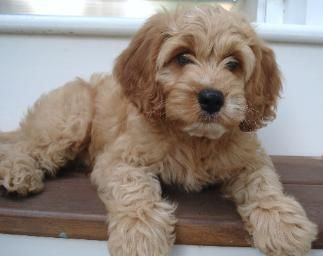 Carriage House Cockapoo Puppies