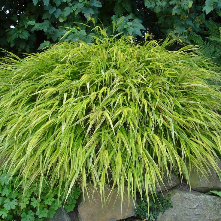 345 best images about ogrodowe trawy on pinterest for Large garden grasses