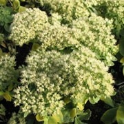 Sedum spectabile 'Iceberg'. Suitable for Living Wall Wildlife Loving Plant. Click image to get care advice.     Other names: Ice plant 'Iceburg'    Genus: Sedum    Variety or cultivar: 'Iceberg' _ 'Iceburg' forms a clump with thick stems and broad elliptic, grey-green leaves and flat cymes of white flowers.