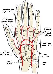 Blood supply to the hand (superficial arch primarily supplied by Ulnar artery)(deep arch primarily supplied by Radial artery)