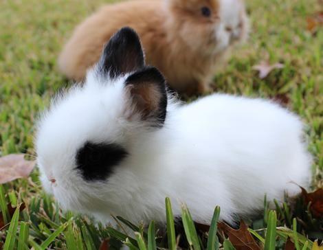 Rabbits, Holland Lops, Netherland dwarfs and lionheads for sale southwest of San Antonio. rabbit, bunny, bunnies. Chickens, Chicks, peacocks, pheasants