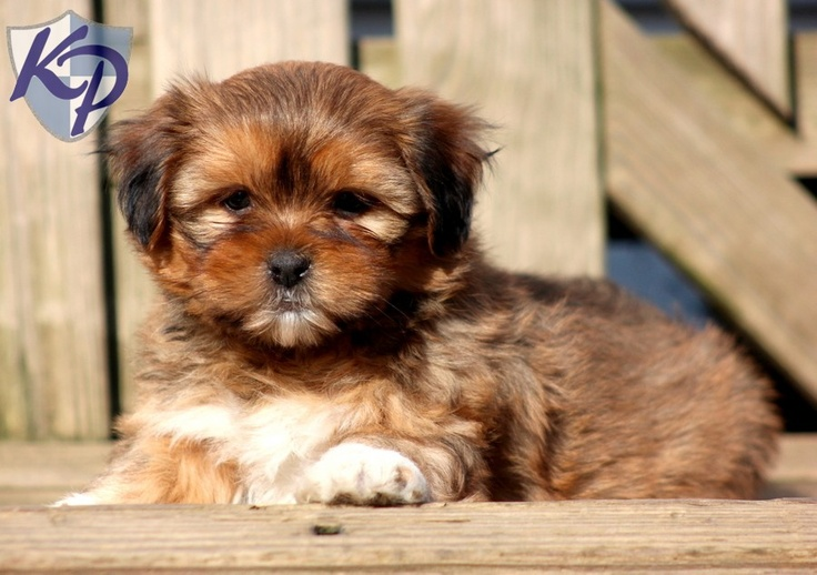 Magnum – Shorkie Puppies for Sale in PA | Keystone Puppies