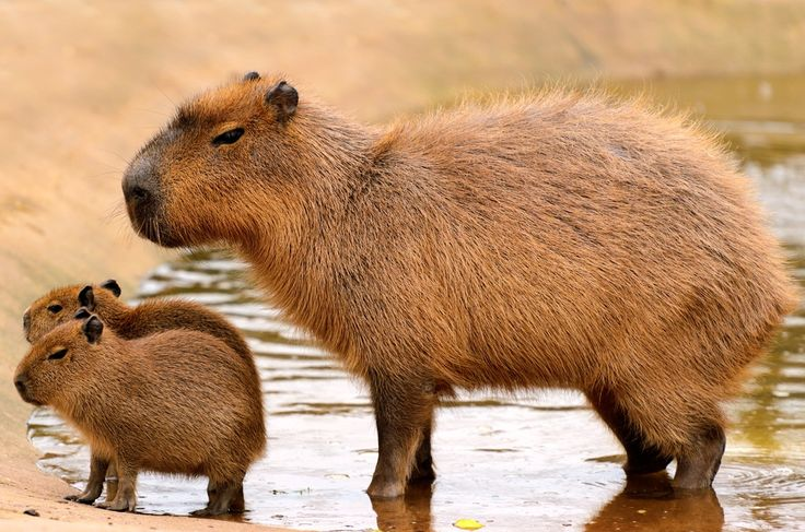 Capybaras, relatives of guinea pigs, are the world's biggest rodent. They live on the forest floor in groups of 10 to 20 and feed on grasses and aquatic plants.