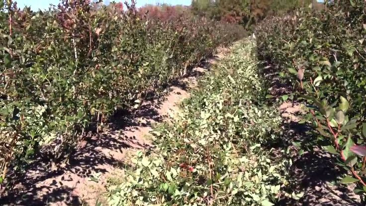 How to Prune Blueberry Bushes with Expert Blueberry Farmers at DiMeo Blueberry Farms & Nursery