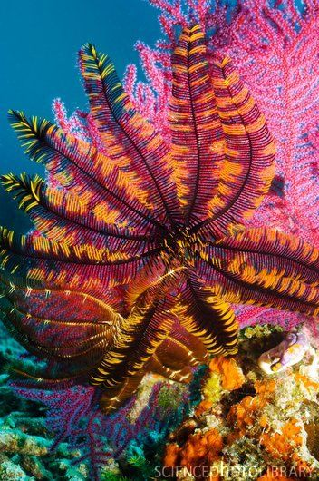 Featherstar on gorgonian coral.  Credit: GEORGETTE DOUWMA/SCIENCE PHOTO LIBRARY
