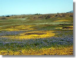 Hike Table Mountain in the Spring to see gorgeous wildflowers, waterfalls, lava outcrops, and a rare type of vernal pool, called Northern Basalt. Flow Vernal Pools. Typically fissures in the basalt soak up winter rains, forming seasonal streams and waterfalls.
