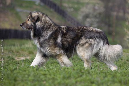 10+ images about Carpathian sheepdog on Pinterest | Sheep ...