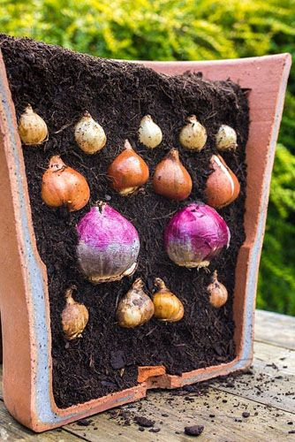 Layered bulb container. Container cut in half to show the layered effect. Plants include Narcissus 'Hawera', Muscari armeniacum, Hyacinthus orientalis 'Delft Blue' and Tulip 'Sunny Prince' - © GAP Photos