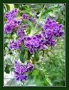 Sky Flower, Duranta repens