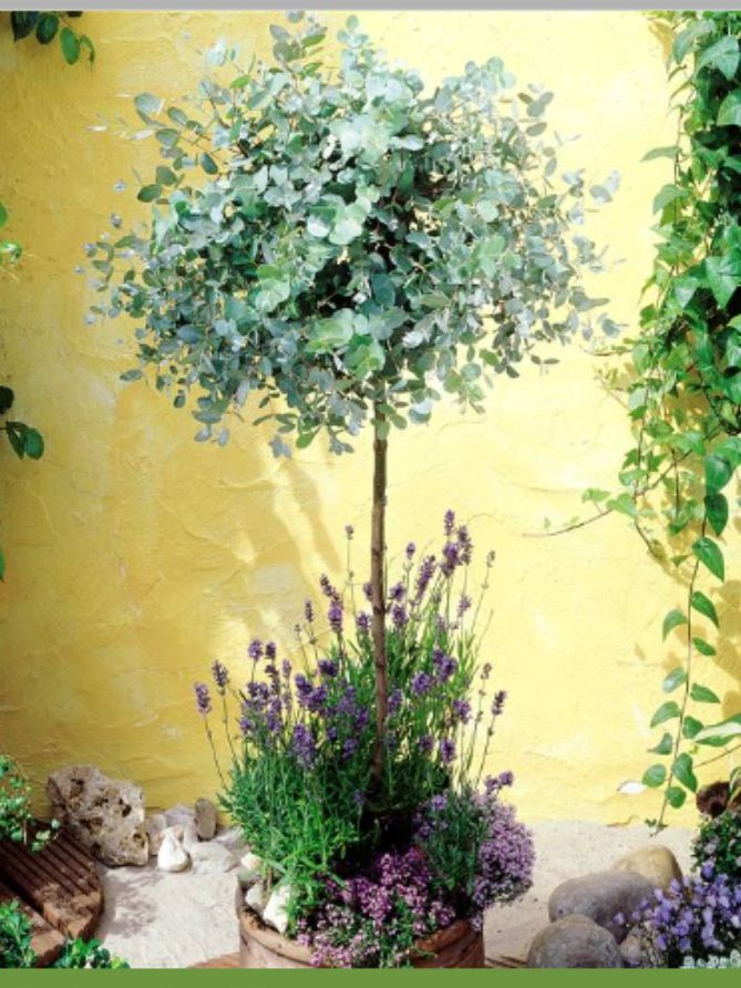 Eucalyptus plant with lavender