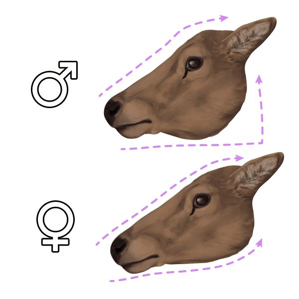 How to Draw Animals: Deer – Species and Anatomy: heads                                                                                                                                                     More