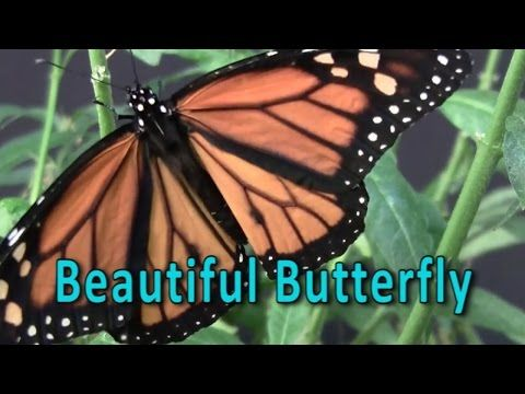 Butterfly | Butterfly Metamorphosis | Life Cycle of a Butterfly | Beautiful Butterfly - YouTube