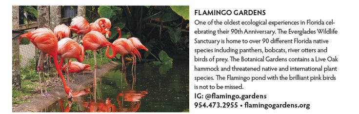 One of the oldest ecological experiences in Florida celebrating their 90th Anniversary. The Everglades Wildlife Sanctuary is home to over 90 different Florida native species including panthers, bobcats, river otters and birds of prey. The Botanical Gardens contains a Live Oak hammock and threatened native and international plant species. The Flamingo pond with the brilliant pink birds is not to be missed. IG: @flamingo.gardens 954.473.2955 • flamingogardens.org