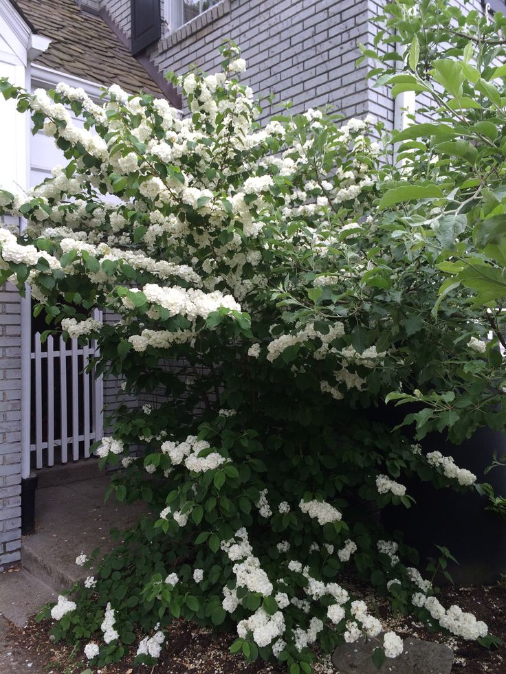 Popcorn viburnum- May 16, 2015