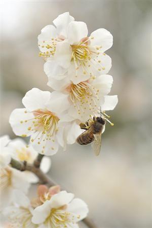 Honey Bee in the Springtime. #Bienen www.apidaecandles.de
