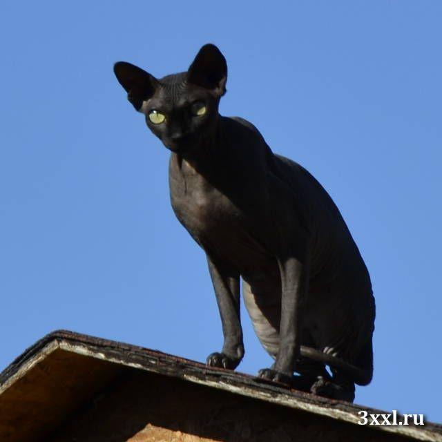 Лысая кошка сфинкс фото